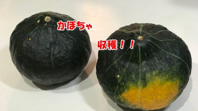 かぼちゃ収穫しました